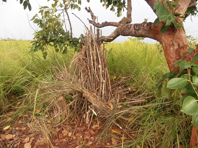 seed of cassava