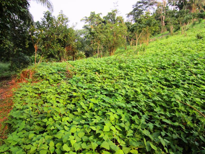 Piri-piri plants