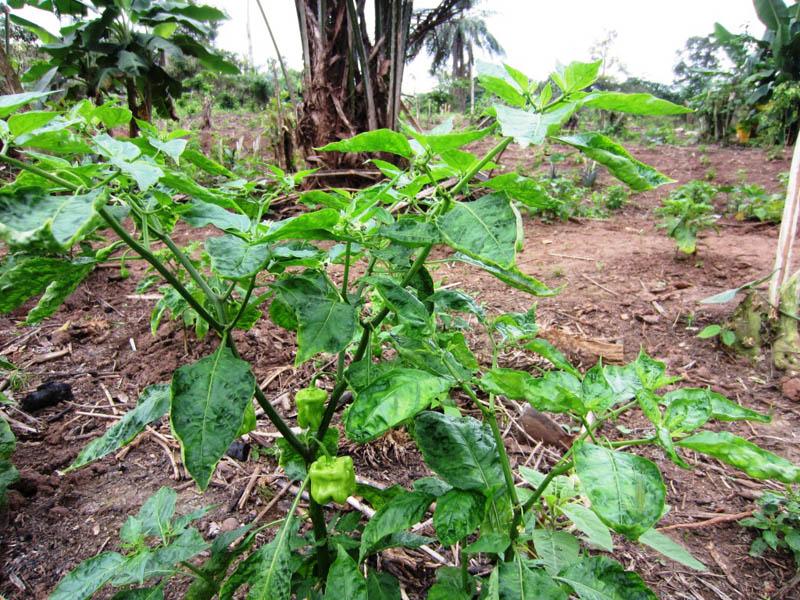 Piri-piri plant